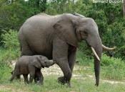 Fotos de Elefantes Africanos15