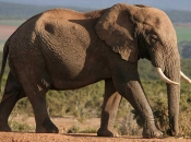 Fotos de Elefantes Africanos2