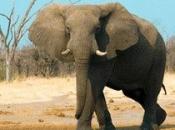 Fotos de Elefantes Africanos4