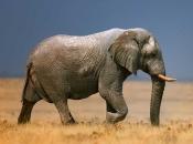 Fotos de Elefantes Africanos8