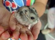 Fotos de Hamster1