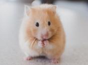 Fotos de Hamster7