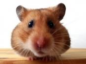 Fotos de Hamster8
