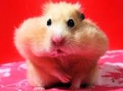 Fotos de Hamster10