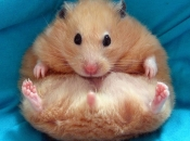 Fotos de Hamster11