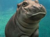 Fotos de Hipopótamos1