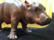 Fotos de Hipopótamos10