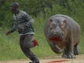 Fotos de Hipopótamos11