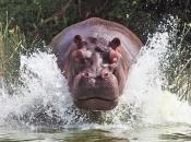 Fotos de Hipopótamos13