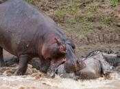 Fotos de Hipopótamos15