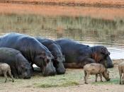 Fotos de Hipopótamos16