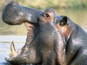 Fotos de Hipopótamos17