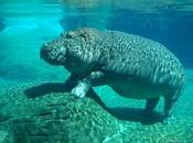 Fotos de Hipopótamos18