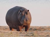 Fotos de Hipopótamos2