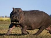 Fotos de Hipopótamos3
