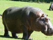 Fotos de Hipopótamos4