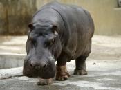 Fotos de Hipopótamos6