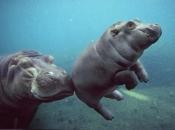 Fotos de Hipopótamos7
