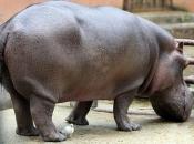 Fotos de Hipopótamos8