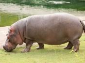 Fotos de Hipopótamos9