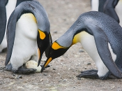 King penguins inspect an egg, ready for an egg exchange between the two