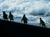 Fotos de Pinguins 18