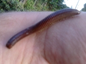 Fotos de Piolho-de-Cobra 5