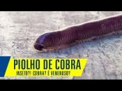 Fotos de Piolho-de-Cobra 8