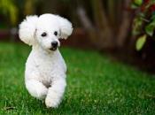 Fotos de Poodle 11