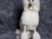 Fotos de Poodle 7