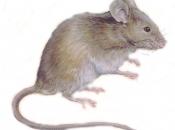 Fotos de Ratos 25