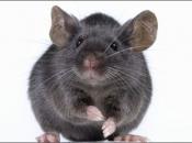 Fotos de Ratos 1