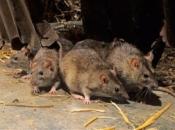 Fotos de Ratos 3