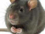 Fotos de Ratos 4