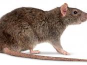 Fotos de Ratos 5