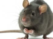 Fotos de Ratos 6