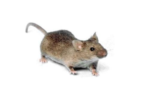Fotos de Ratos 7