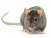 Fotos de Ratos 12
