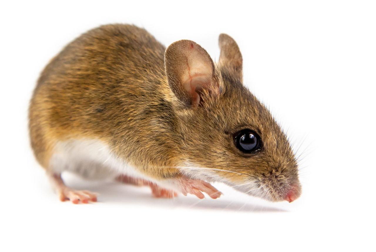 Fotos de Ratos 15