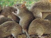 Fotos de Ratos 13