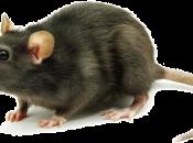 Fotos de Ratos 16