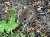 Fotos de Ratos 23