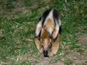 Tamandua mirim / Collared Anteater