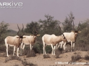ARKive image GES001215 - Addax