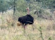 Fotos do Avestruz Masai 10