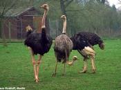 Fotos do Avestruz Masai 7