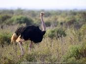 Fotos do Avestruz Masai 8