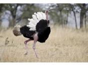 Fotos do Avestruz Masai 14
