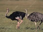 Ostrich pair (Struthio camelus massaicus)