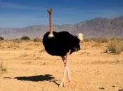 Fotos do Avestruz Masai 17